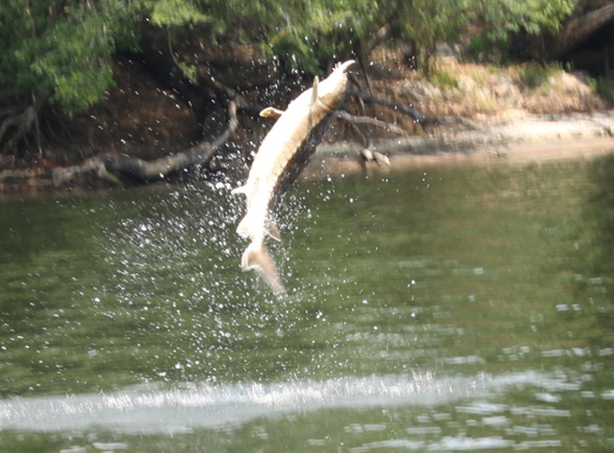Sturgeon In The Suwannee River Association For